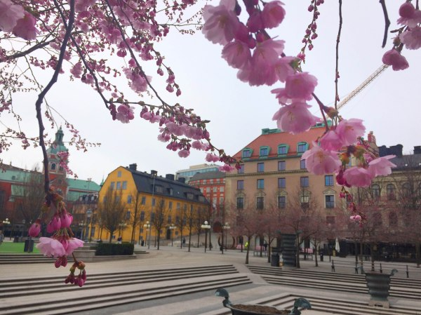 cherryblossom_in_stockholm