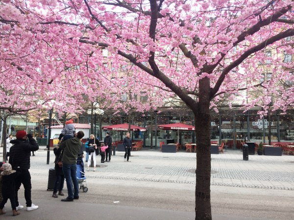 Cherry Blossom Trees in Stockholm